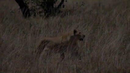 Amazing attack of Lions on Zebra Live 2019