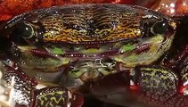 Ce crabe multicolore est surprenant ! Admirez !