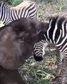 Un petit éléphant donne des bisous à un zèbre. Trop mimi !