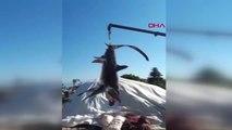 Muğla Fethiye'de balıkçıların ağlarına 2 köpek balığı takıldı