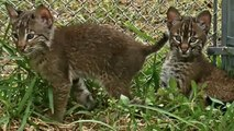 Baby Bobcat's First Introduction