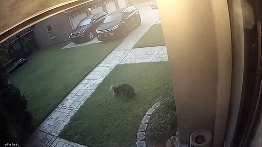 Yorkie Saved from Startled Coyote