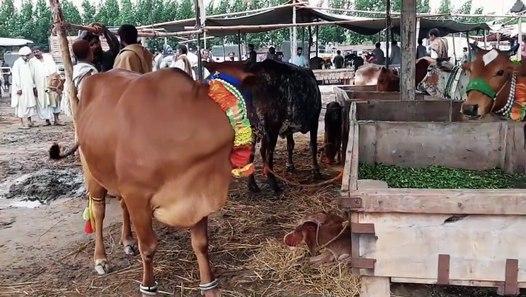Sahiwal Cow - Farm Houses - Price in Pakistan - Shahpur Kanjra Mandi Visit  2018 - 2019 in Urdu_Hindi