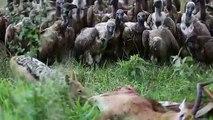 Des vautours se jettent sur une carcasse
