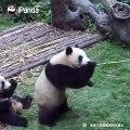 Voici comment on va à la pêche au pandas. Trop drôle !