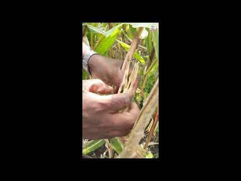 Invasive pest destroys maize farms in Tamil Nadu