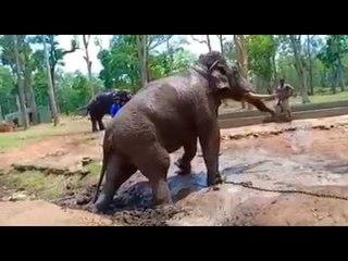 Dasara Elephant Drona dies, last moments caught on camera