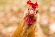 Solarium für Hühner: Mit dieser Methode erhalten Hühnereier mehr Vitamin-D