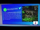 Nacen seis lobos mexicanos en Zoológico de Chapultepec | Noticias con Yuriria Sierra