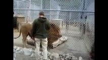 Voici le plus gros lion du monde... Impressionnant