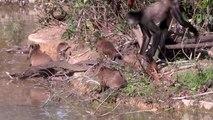 Ce singe joue avec des bébés capybaras... Moment adorable