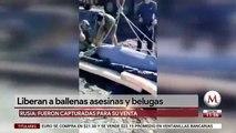 Liberan a ballenas asesinas y belugas en Rusia