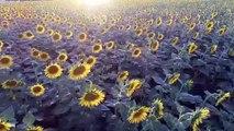 Ceylanpınar'da toprağı 'ayçiçeği' koruyor - ŞANLIURFA