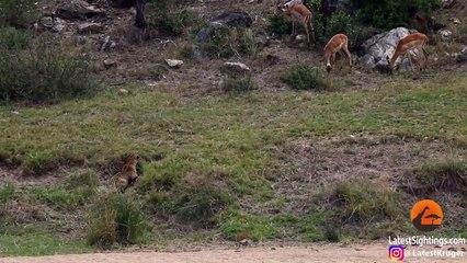 Leopard Catches Impala Mid-Air! 2019