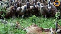 Des vautours se jettent sur les restes d'un impala