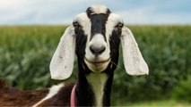 Police 'Drop Charges' Against Goat Chasing A Woman In Maine