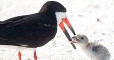 Cette photo d'un oiseau qui nourrit son petit est trompeuse et alarmante