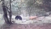 Ce tigre va comprendre qu'il ne faut pas s'en prendre aux ours... Chasseur chassé