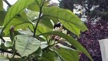 Bourdon et fleurs de citron....