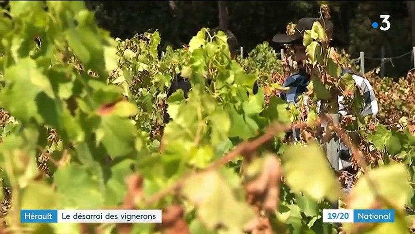 Canicule : le désarroi des vignerons dans l'Hérault