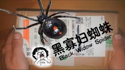 黑寡妇?狠毒?很要命?不可能的老铁!爬宠肆养Black Widow Spider