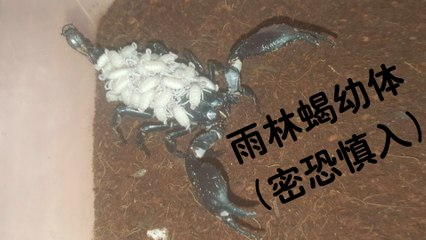 【爬宠饲养】雨林蝎幼体落地瞬间(密恐慎入)