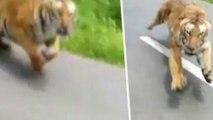 Un motard échappe de justesse à un tigre qui le pourchasse