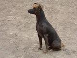 10 races de chiens très rares