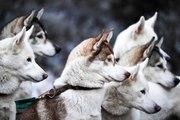 Les races de chiens de traîneau
