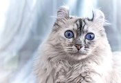 Les races de chats les plus rares