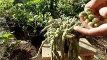 how to grow cactus from cuttings Aporocactus flagelliformis (snake cactus)