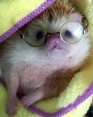 Si vous n'avez jamais vu un hérisson intello. Admirez cet adorable hérisson avec ses lunettes !