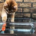 Ce chat adore observer son poisson nager dans l'aquarium. Trop mimi !