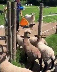 Regardez comment ces chèvres semblent un peu dépassées par ce qui leur arrivent. Trop drôle !