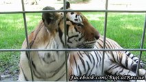 Kali Tigress chuffing at Keeper MaryLou Geis and just being her adorable self!