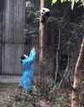 Un bébé panda coincé en haut d'un arbre a peur de descendre. Regardez l'acte de bravoure de cette dame !