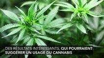 Le cannabis : traitement pour les douleurs chroniques et insomnies ?