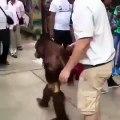 Cet orang-outan est un gros troll avec les visiteurs d'un zoo !