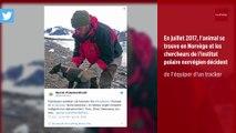 3 500 km en 76 jours : l'incroyable périple d'un renard polaire