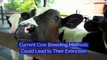 Current Cow Breeding Methods Could Lead to Their Extinction