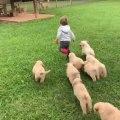Herd of Golden Retriever Puppies Chase Toddler