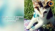Un chaton à 4 oreilles adopté