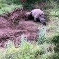 Un bébé rhino tente de réveiller sa mère, tuée par des braconniers