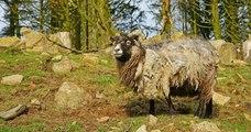 Une île écossaise cherche un berger pour s'occuper d'un troupeau de moutons rares
