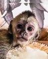 Ce mignon petit bébé singe va vous faire fondre. Trop cute !