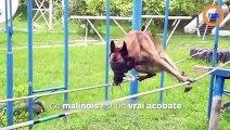 Un chien de police marche sur des cordes les yeux bandés