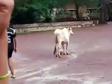 Une vache qui joue au foot... mieux que Ronaldo