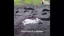 Des habitants découvrent un veau piégé dans la boue, entouré par des alligators