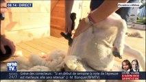 Le championnat du monde de tonte de moutons se déroule actuellement en Haute-Vienne