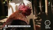 Charente-Maritime : Maurice le coq jugé pour son chant